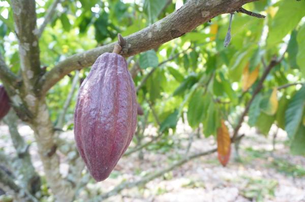 インドネシア スラウェシ カカオ農園